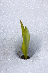 Avalanche lily is breaking through the snow